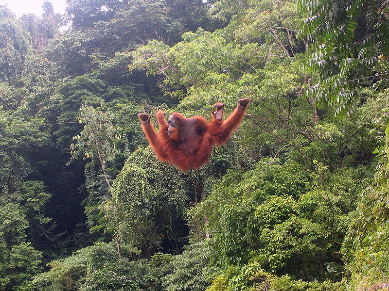orangutan deforestation