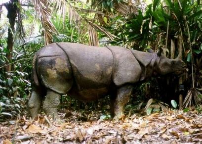 javan rhino extinct