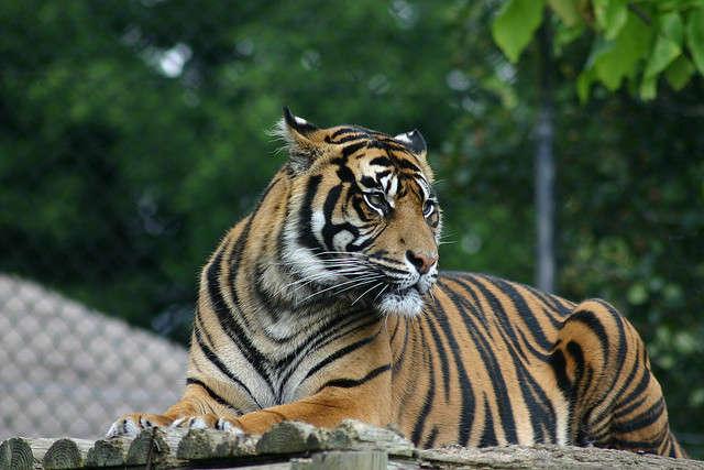 pet tiger ban wwf