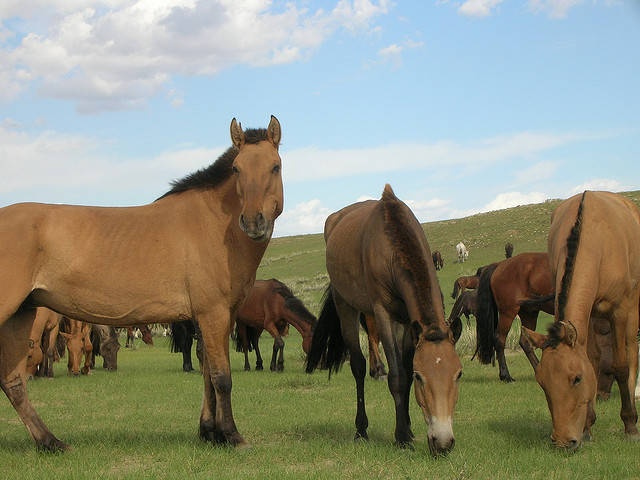 Horse Slaughter for Human Consumption Now Legal in the U.S.