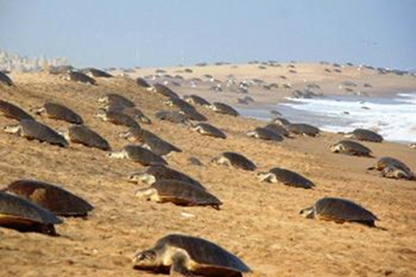 Olive Ridley Sea Turtles are struggling to Survive