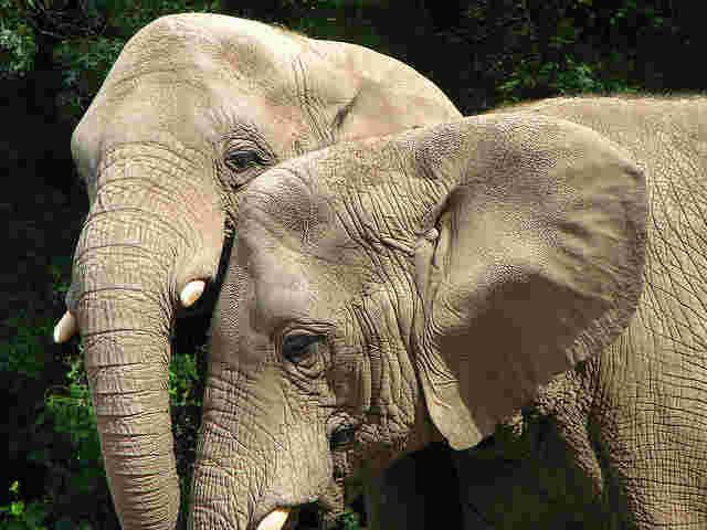 Sumatran Elephants Now Critically Endangered