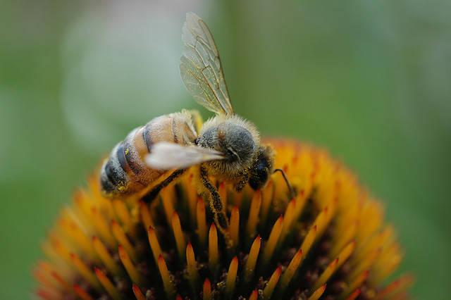 The Honey Bee: Queen of Surprises