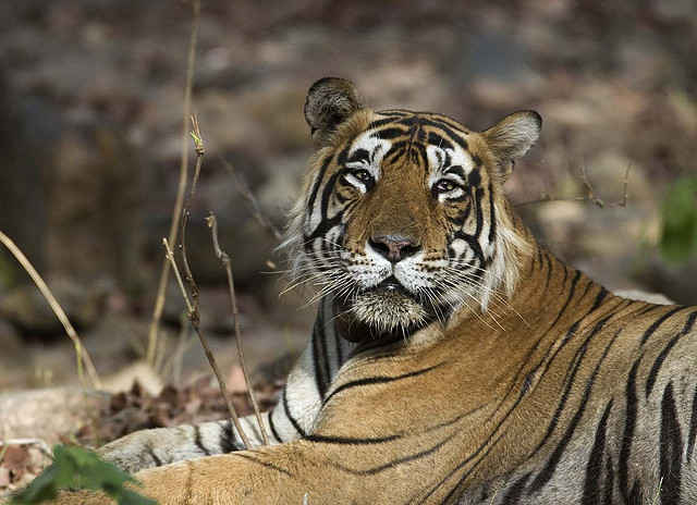 Entire Village in India Relocates to Protect Tigers