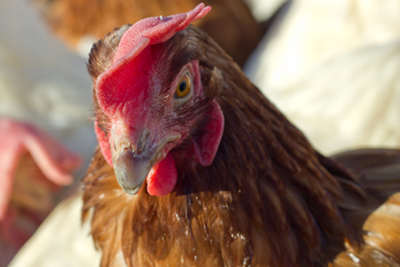 One of the rescued hens, enjoying the sun for the first time in her life