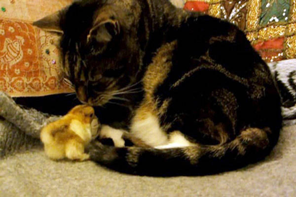 WATCH: Cat and Chick Snuggle
