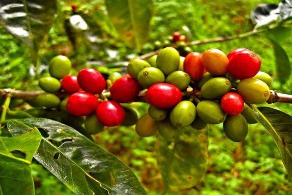 coffee-Bean-by-U.-S.-Fish-and-Wildlife-Service-Northeast-Region