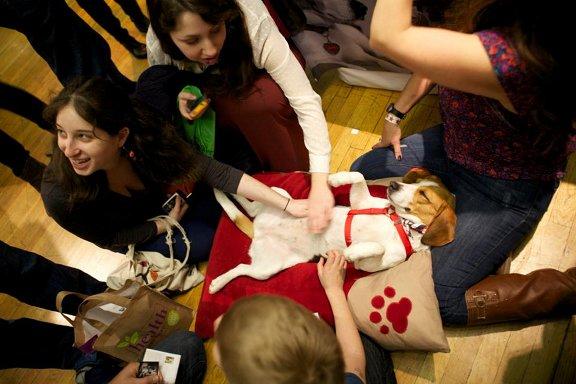 Juno the rescue beagle