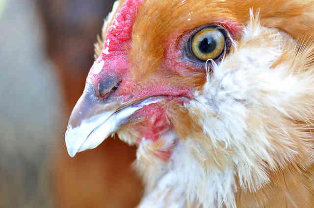 New HSUS Investigation Reveals Shocking Conditions at Kreider Egg Farm