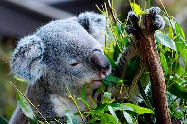 Koala Bear Listed as Threatened Because of Climate Change, Urbanization and Dogs!