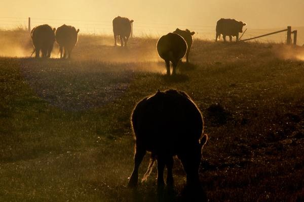 Cows as Much to Blame for L.A. Smog as Cars