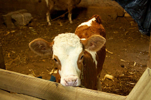 """Our Voices, Our Movement: How Vegans Can Move Beyond the """"Welfare-Abolition Debate"""""""