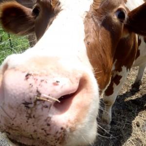 Tucker rock star rescue cow