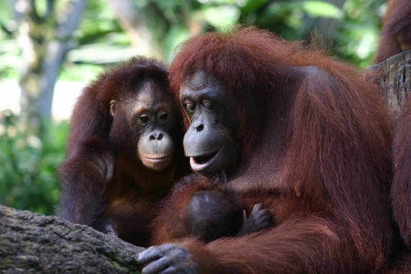 Why Orangutans are Going Extinct and What You Can do to Help