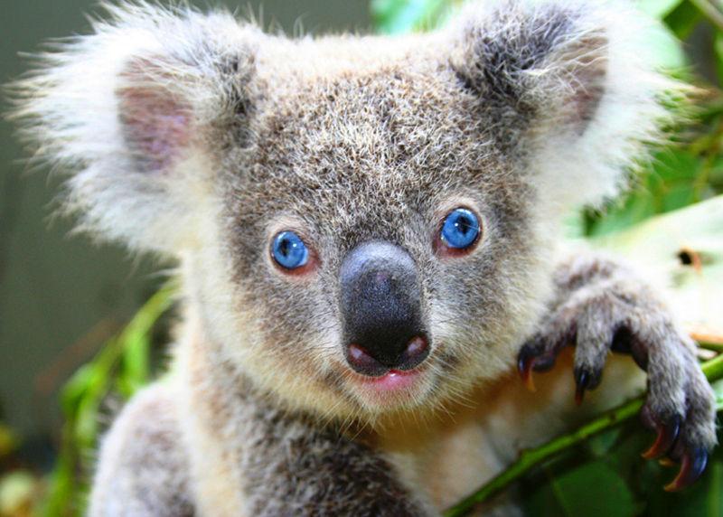 Climate Change Endangering Koalas