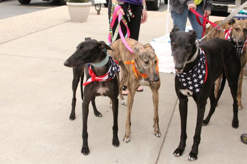 American Greyhound