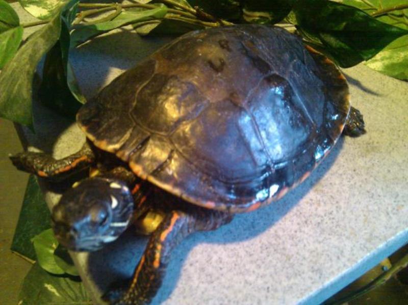 Hecter turtle