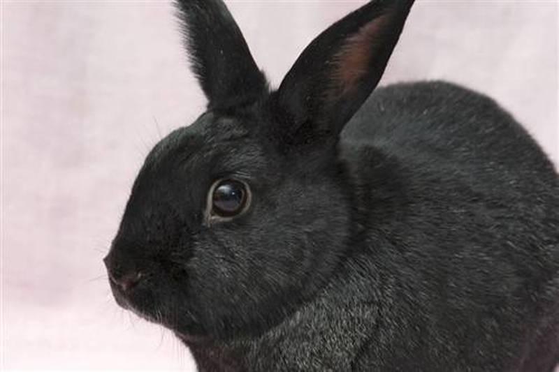 Rabbit shirley
