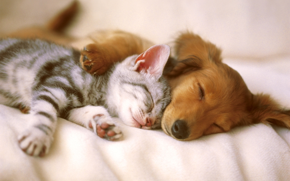 dog and cat sleeping - Copy