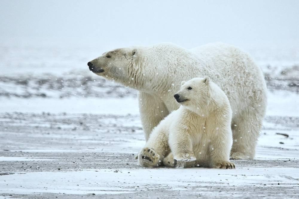 polar bears cover photo_2