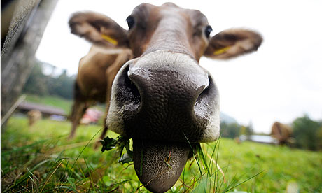 Cow-grazing-001