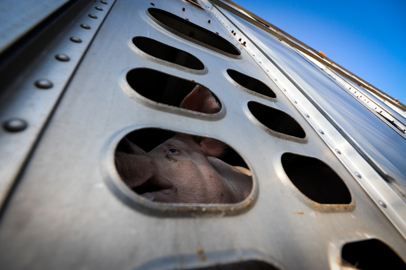 Pigs going to slaughter, Toronto, Canada, 2012