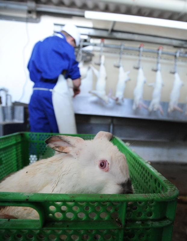 Rabbit slaughter, Spain, 2010