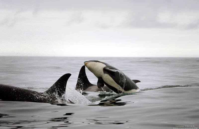 Who Is White Sphere? The Barely Disguised Conglomerate Behind Russia's Wild Orca Captures