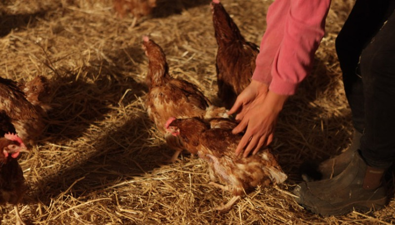 752 Former Battery Hens Feel the Sun for the Very First Time (VIDEO)