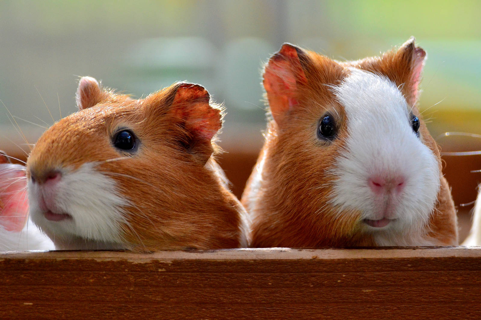 5 Important Things to Know Before Adopting a Guinea Pig