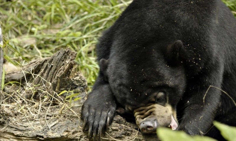 From Illegal Pet Trade Victim to Sanctuary Resident: Meet 'Fiercely Independent' Rescued Sun Bear Natalie (PHOTOS)