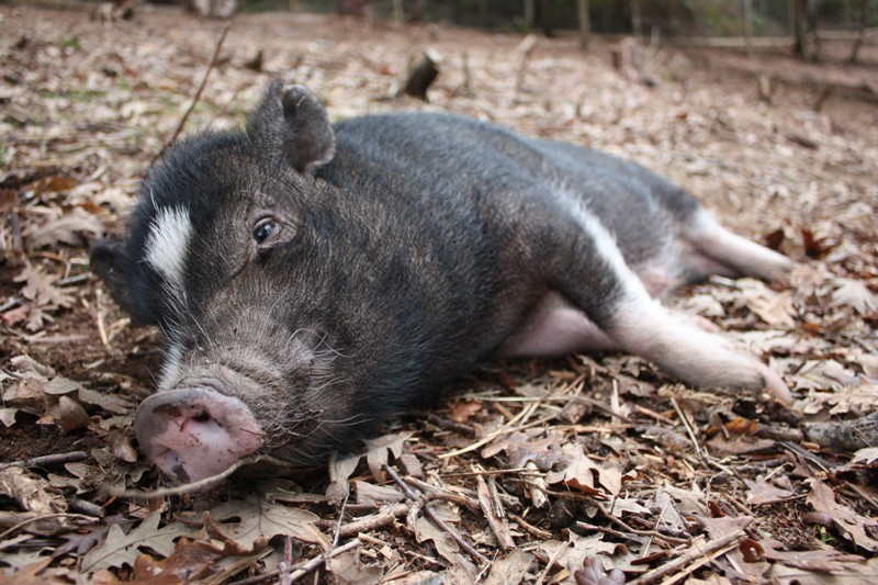 8 Things Pigs LOVE To Do