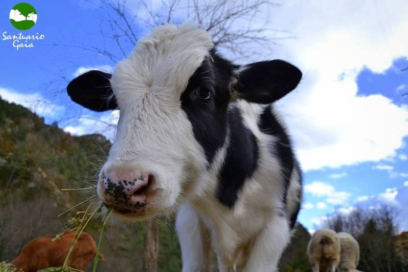 From Veal Crate to Sanctuary: The Beautiful Rescue Story of Samuel the Calf (PHOTOS)