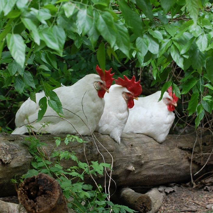 Former Battery Hen Sarah Determined to Live and Thrive
