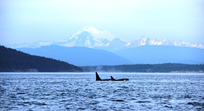 A Personal Reflection On Encounters with Orca