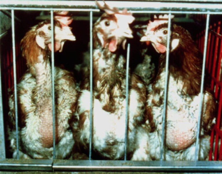 Chicken or Broiler, Cow or Steer, Owner or Guardian? Liberating the Language of Animal Abuse