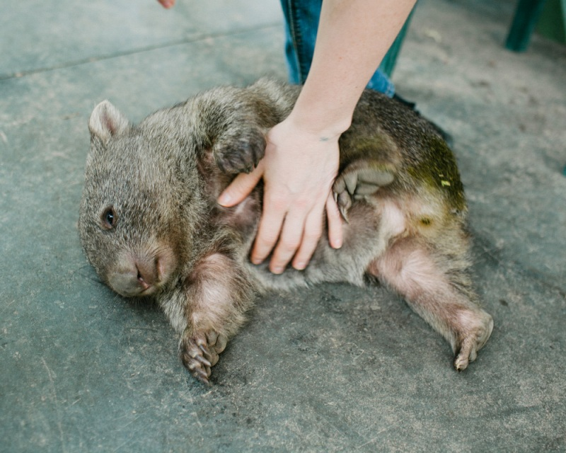 Adorable! Orphaned Wombat Cared for by Kind Tourists (PHOTOS)