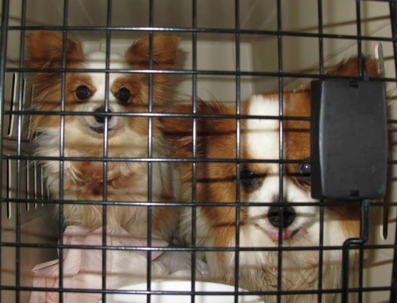 Experiences From the Front: A Rescuer's First-Hand Account of Rescuing Puppy Mill Dogs