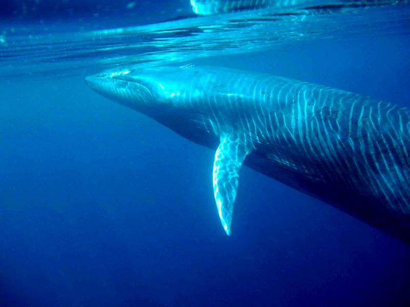 Get to Know the Whales Japan, Iceland and Norway Are Slaughtering