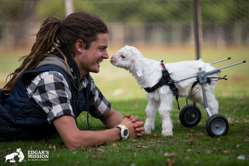Rescued Baby Goat Frostie Learns to Move Around With His New Wheels! (VIDEO)