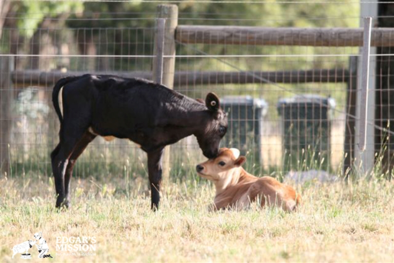 Two Former Dairy Farm Calves Rescued on the Same Day Remain Best Friends (PHOTOS)