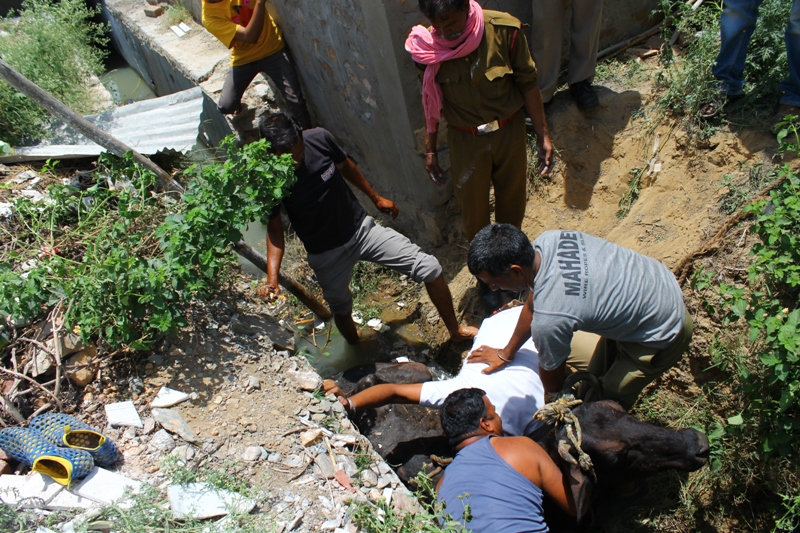 Neighbors Come Together Rescue a Cow From a Ditch in India (VIDEO)