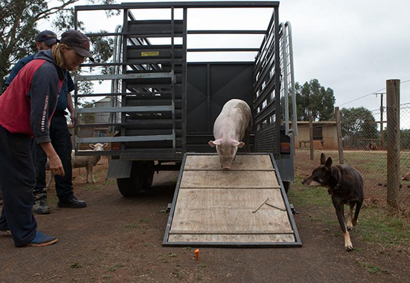 Meet Miss Piggy: All the Sass, No Strings Attached