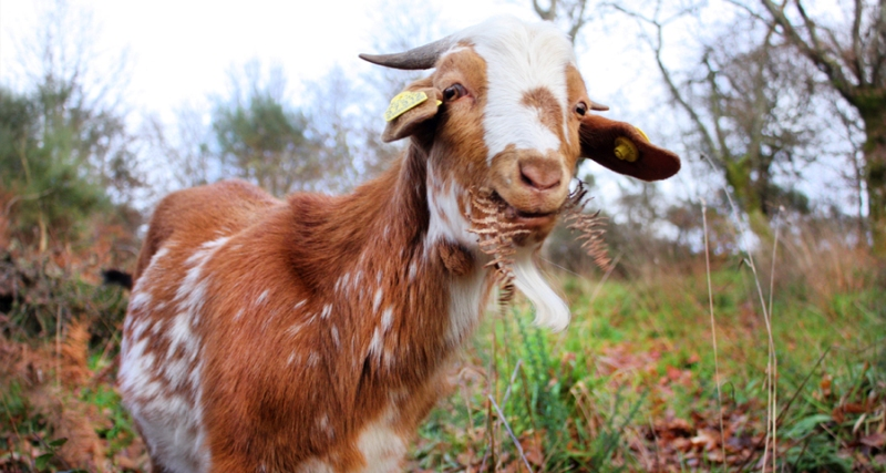 Goats Are the New Brainiacs of the Barnyard