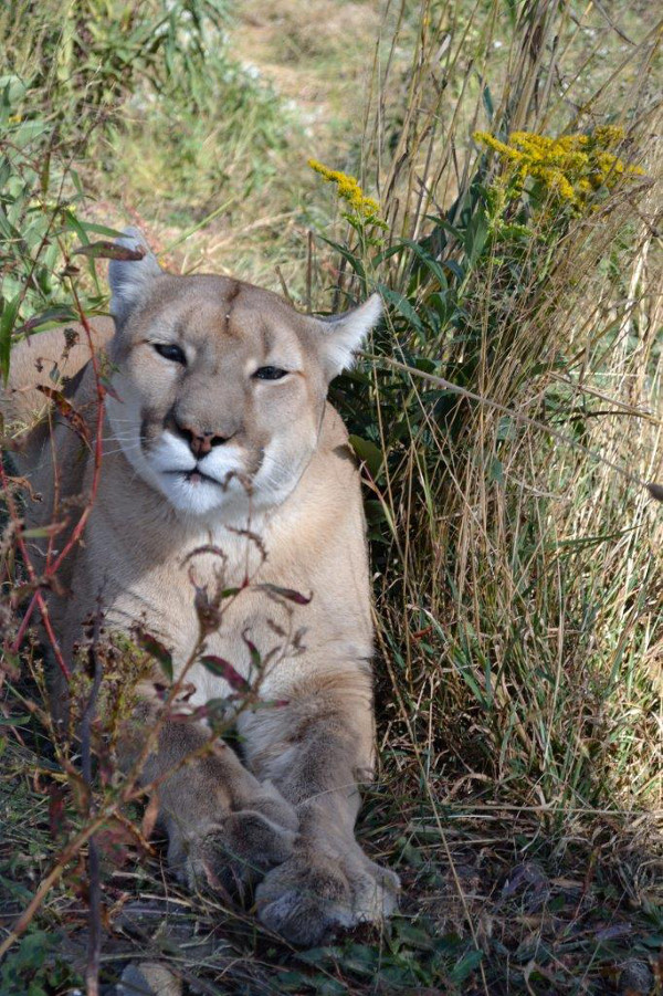 Keep the Wild in Your Heart, Not Your Home: The Story of Tasha the Cougar