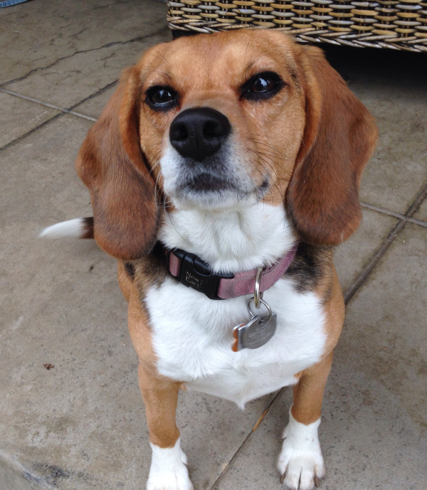 The Beagle Freedom Project: Ready to Fight Until Every Lab Animal is Free