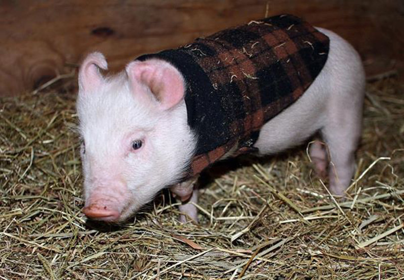 "How Amelia, ""The Worst Pig in the World"" Came to be Loved by Catskills Animal Sacntuary (Photos)"