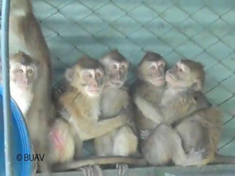 Plight of the Monkeys of Mauritius