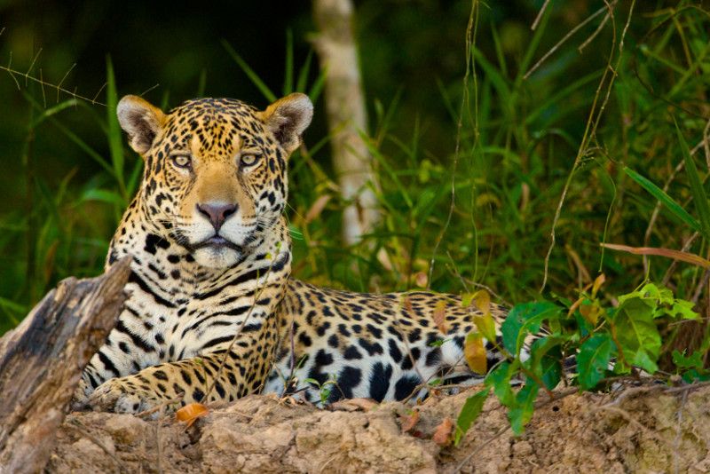 What Cattle Ranching and the Loss of Jaguars has to do With Species Extinction in the Amazon Rainforest