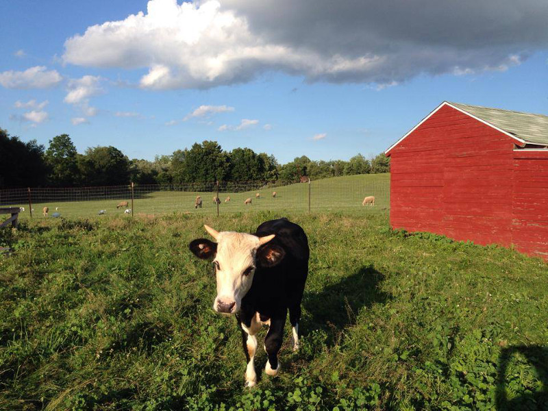Stevie the Rescued Blind Calf Finds His way at SASHA Farm Sanctuary